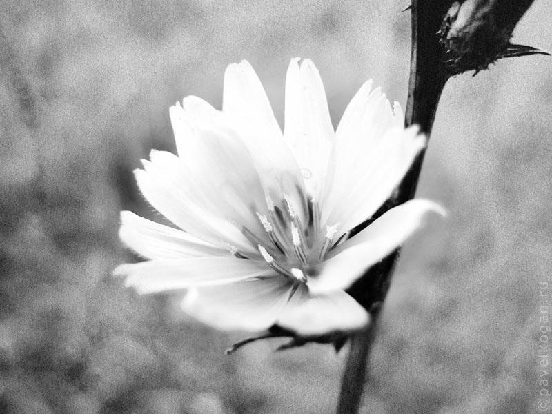 Фото цветов черно-белое